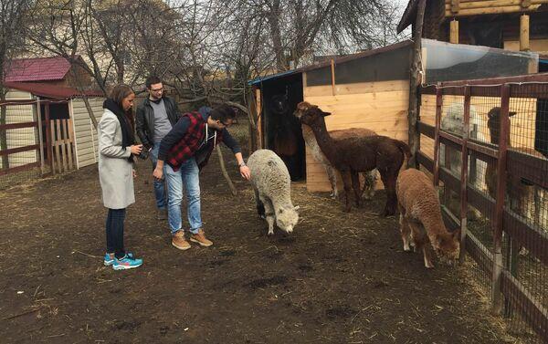 Farma Rosyjskie Alpaki w Moskwie - Sputnik Polska