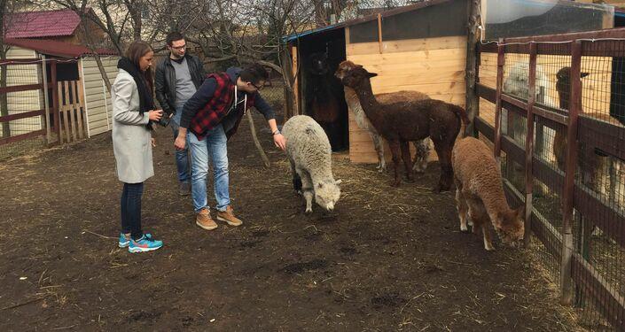 Farma Rosyjskie Alpaki w Moskwie