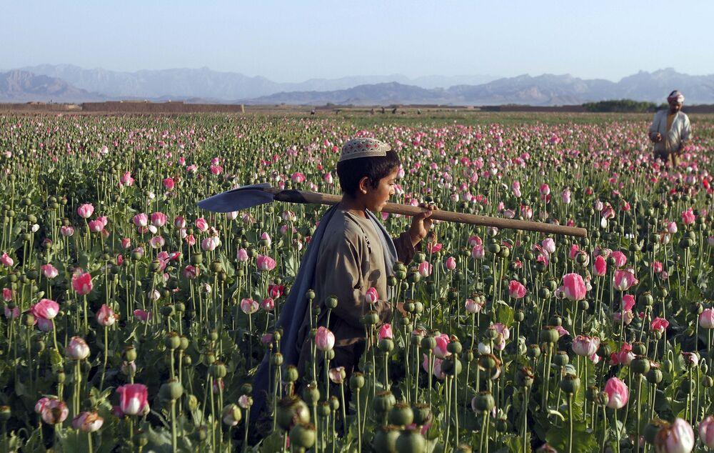 Pole makowe w Afganistanie