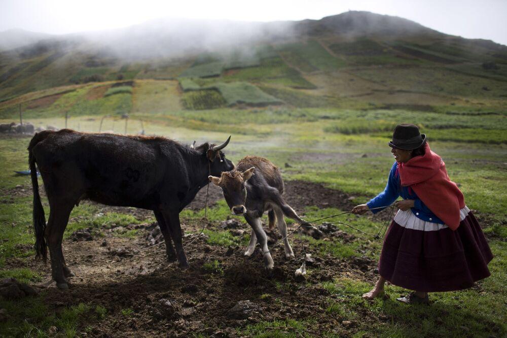 Cielę nie chcę odejść od matki, Uchuraccay, Peru