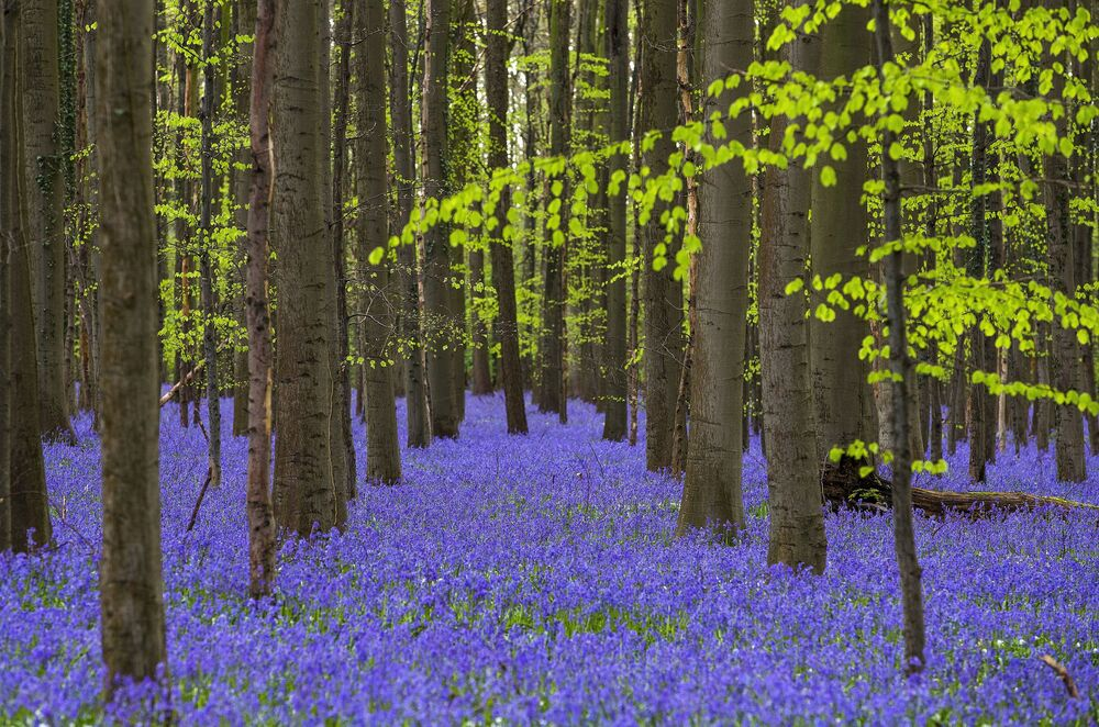 Dzikie dzwonki w lesie w pobliżu miejscowości Halle, Belgia