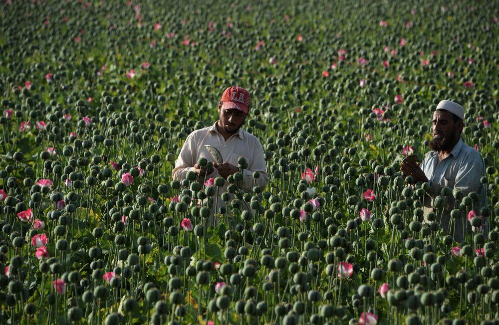 Uprawa w Afganistanie