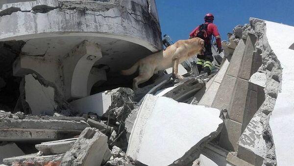 Pies Daiko, który uratował siedem osób spod ruin po trzęsieniu ziemi w Ekwadorze - Sputnik Polska