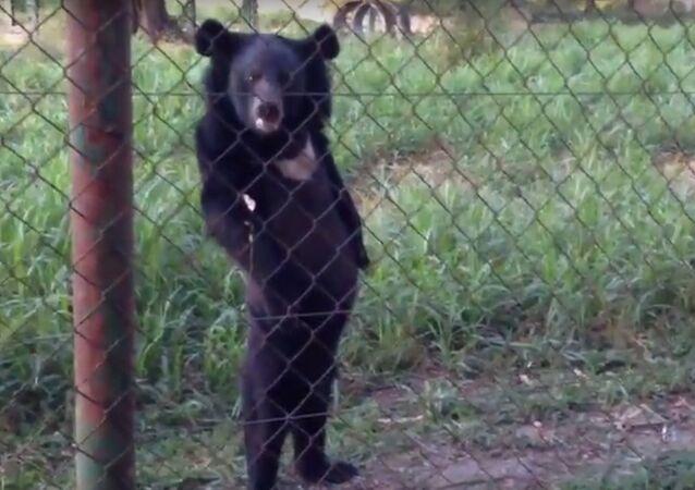 Niedźwiedź chodzi na dwóch łapach