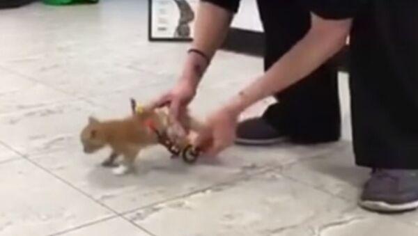 Weterynarze zmontowali dla kotka fotel inwalidzki. - Sputnik Polska