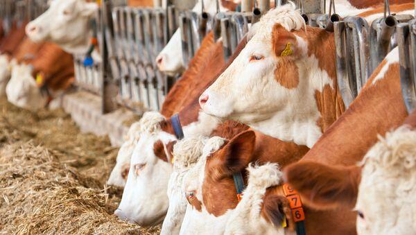 Krowy w stajni - Sputnik Polska
