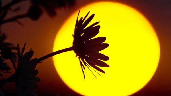 Rumianki na tle zachodzącego słońca w okolicach Gruszowego Jeziora w symferopolskim rejonie Krymu. - Sputnik Polska