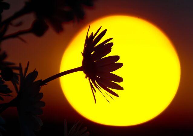 Rumianki na tle zachodzącego słońca w okolicach Gruszowego Jeziora w symferopolskim rejonie Krymu.