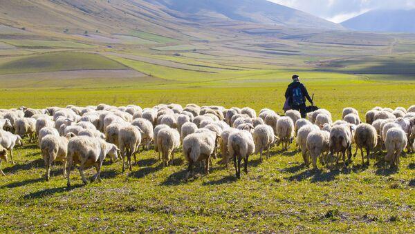 Wypas owiec we Włoszech - Sputnik Polska