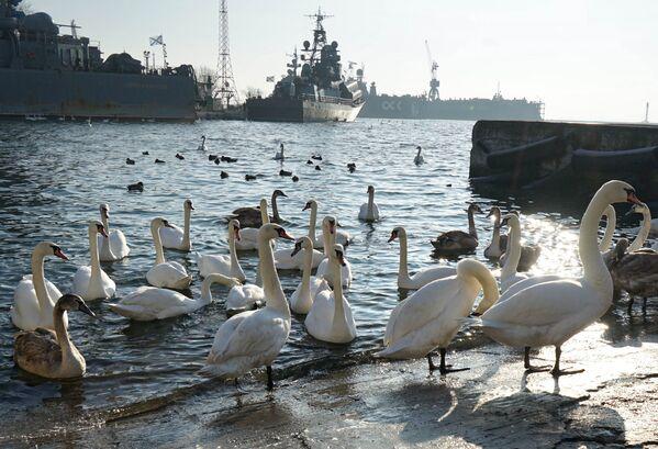 Zimowanie łabędzi w Bałtijsku obwodu kaliningradzkiego - Sputnik Polska