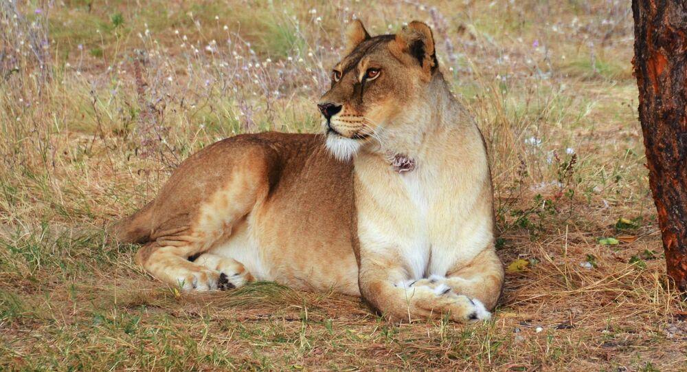 Lwica na trawie