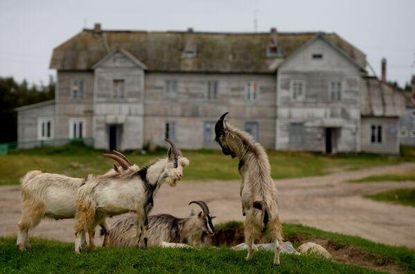 Kozły pasą się na Wyspie Sołowieckiej w obwodzie archangielskim - Sputnik Polska