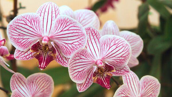 Orchidee - Sputnik Polska