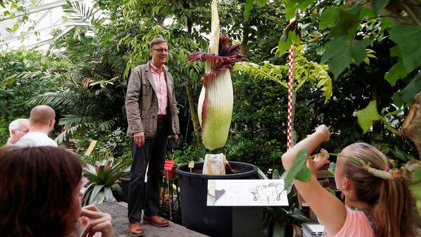 Największy kwiat na świecie Titan Arum  (Amorphophallus titanum) w ogrodzie botanicznym w Meise w Belgii - Sputnik Polska