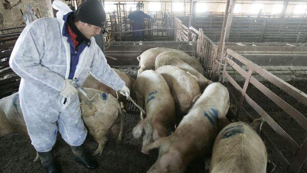 Zabijanie pogłowia świń zarażonych afrykańskim pomorem świń - Sputnik Polska