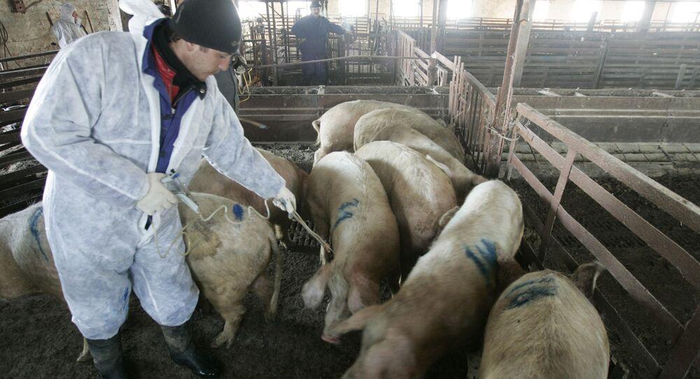 Zabijanie pogłowia świń zarażonych afrykańskim pomorem świń