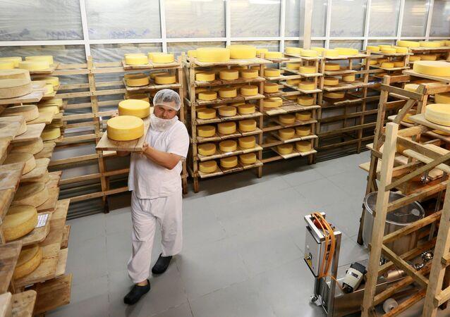 Oleg Sirota zajęty przekładaniem kręgów sera w dojrzewalni serowarni Rosyjski Parmezan
