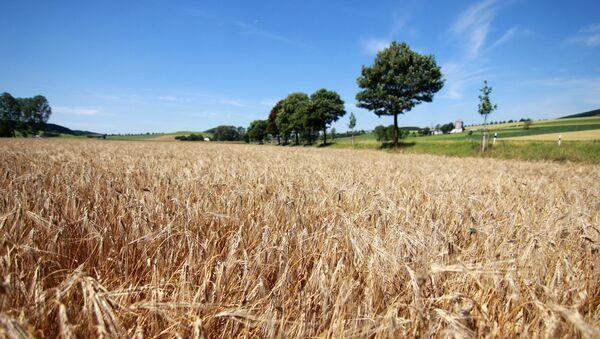 Grain harvest in the fields - Sputnik Polska
