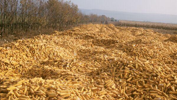 Plony kukurydzy na Ukrainie - Sputnik Polska