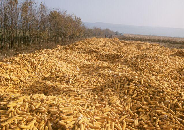 Plony kukurydzy na Ukrainie
