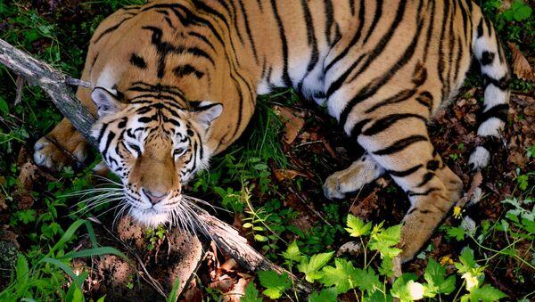 Tygrys w parku safari w Kraju Nadmorskim - Sputnik Polska