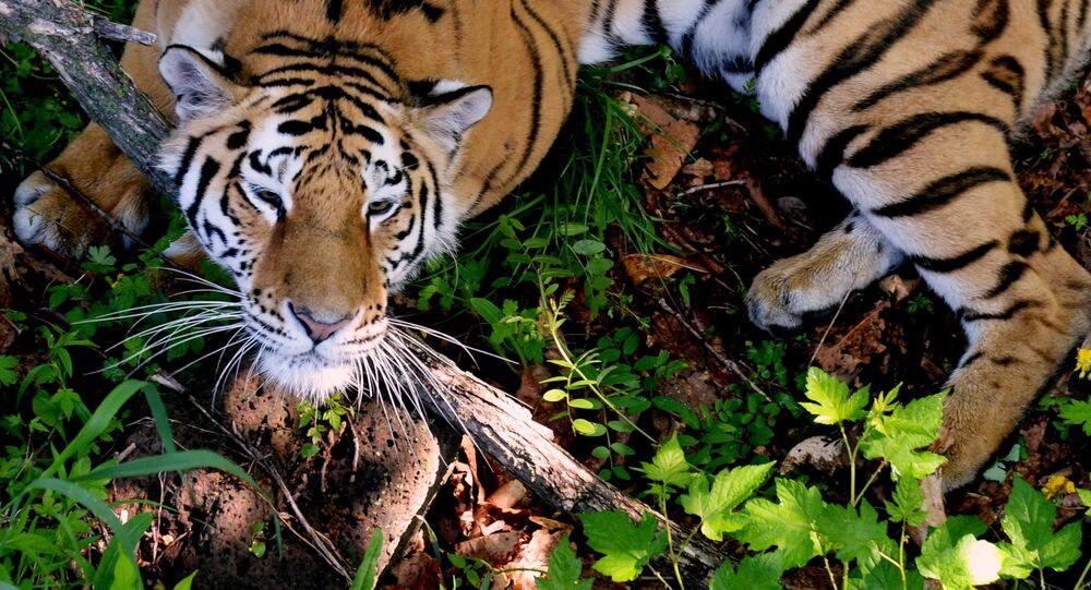 Tygrys w parku safari w Kraju Nadmorskim