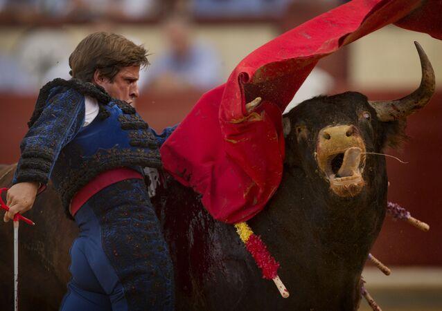 Hiszpański toreador Julian Lopez El Juli podczas walki byków