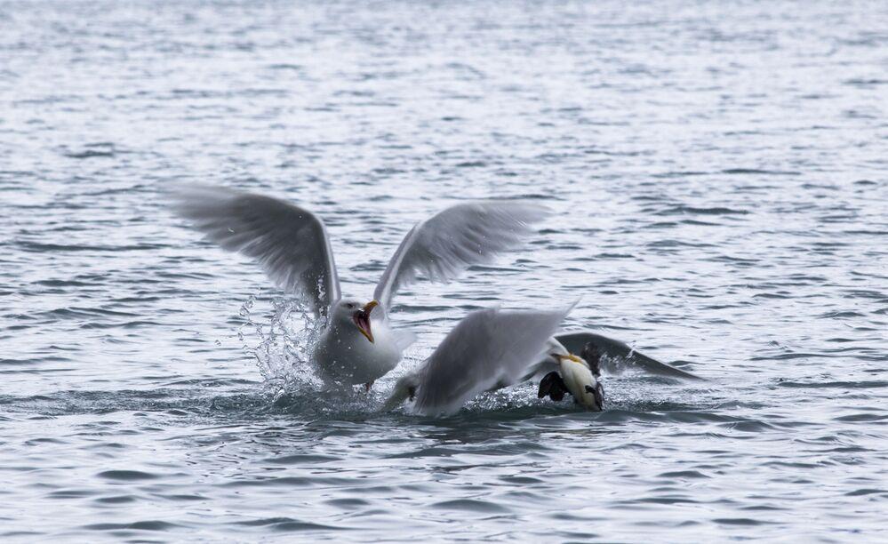 Polarne mewy w Zatoce Cichej przy wyspie Hoockera w archipelagu Ziemia Franciszka Józefa.