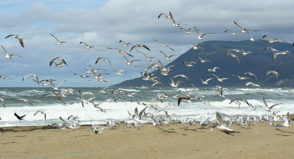 Mewy na brzegu Morza Ochockiego (Kunaszir)