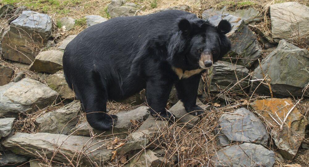 Niedźwiedź himalajski