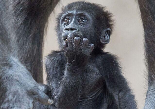 Dziecko goryla