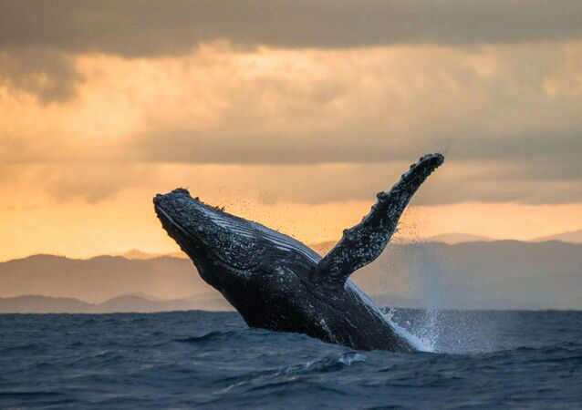 Wieloryb podczas zachodu słońca na Madagaskarze