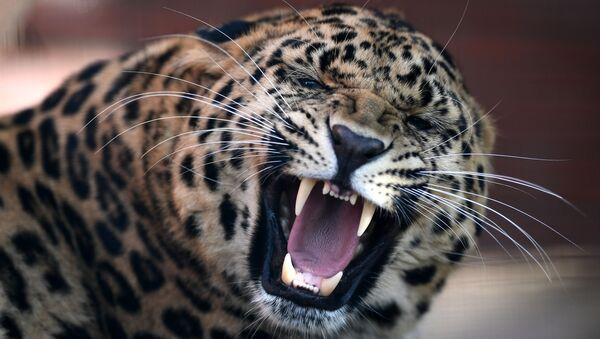 Leopard - Sputnik Polska