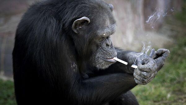 Paląca małpa w ZOO w Pjongjangu, Korea Północna - Sputnik Polska