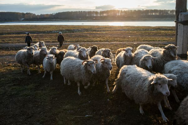 Stado owiec na podwórzu Kołdyszewów we wsi Sibiliakowo - Sputnik Polska