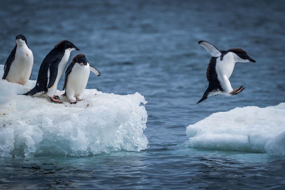 Pingwin Adeli to jeden z najszerzej rozpowszechnionych gatunków pingwinów. Nazwany został przez francuskiego badacza Jules'a Dumont d'Urville'a na cześć swojej żony. Pingwin Adeli jest bardzo ufny, a swoim zachowaniem niekiedy przypomina człowieka.
