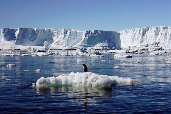 Pingwin Adeli gnieździ się na wybrzeżu Antarktydy i na pobliskich wyspach: Szetlandach Południowych i Orkadach Południowych. - Sputnik Polska