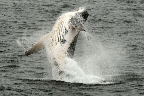 Od czerwca do grudnia w wodach Antarktyki można spotkać humbaki. - Sputnik Polska