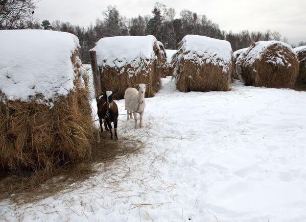 Kozy i zaśnieżone stogi siana we wsi Bieriozowka w obwodzie tomskim - Sputnik Polska
