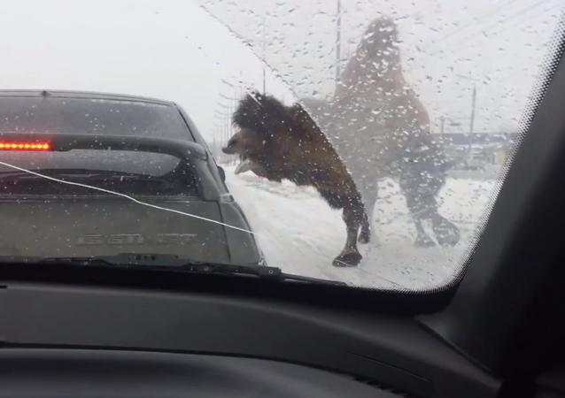 Wielbląd na rosyjskiej drodze