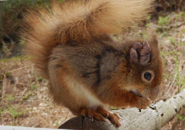 Wiewiórka zarażona trądem