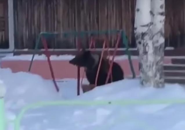 Czym syberyjski niedźwiedź zadziwił przechodniów