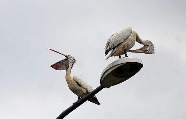 Pelikany na latarni ulicznej w mieście Kolombo w Sri Lance - Sputnik Polska