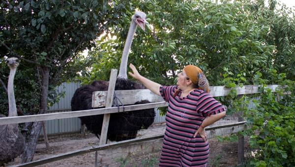 Mieszkanka dagestańskiej wsi Karabudachkent w obwodzie karabudachkentskim już ładnych kilka lat zajmuje się hodowlą strusi afrykańskich. - Sputnik Polska