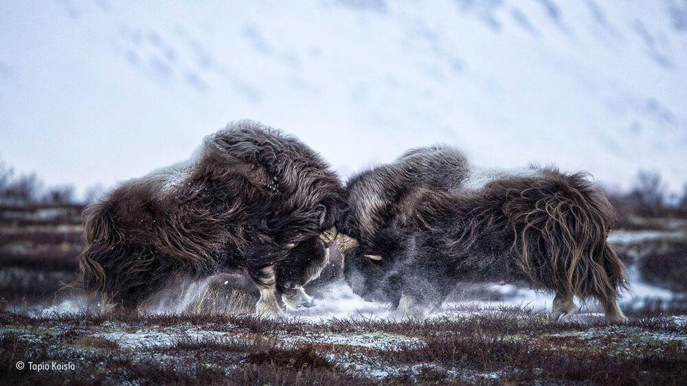 Łeb w łeb. Autor: Tapio Kaisla, Finlandia.