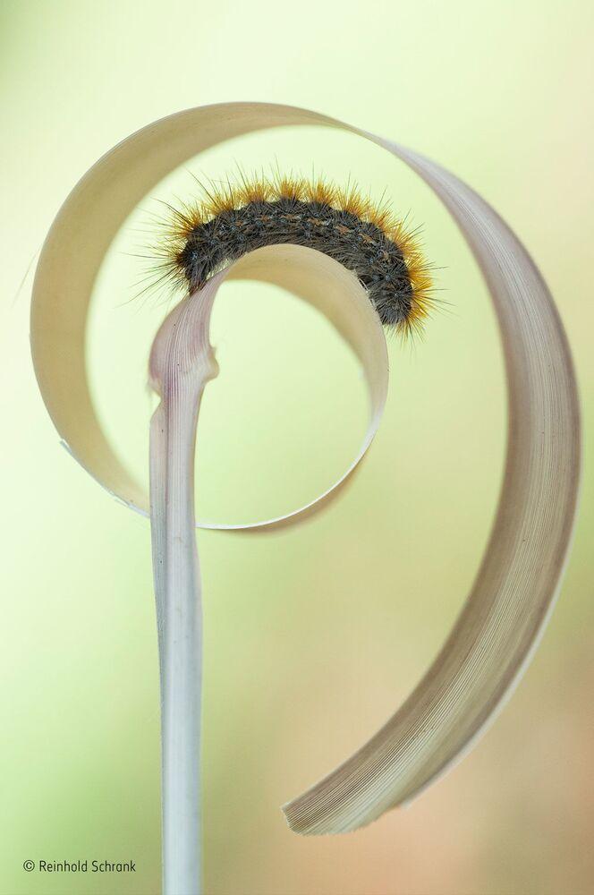 Gąsienicowy ślimak. Autor: Reinhold Schrank, Austria.