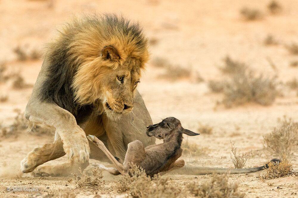 Przenikliwy wzrok śmierci. Autor: Johan Kloppers, Republika Południowej Afryki.
