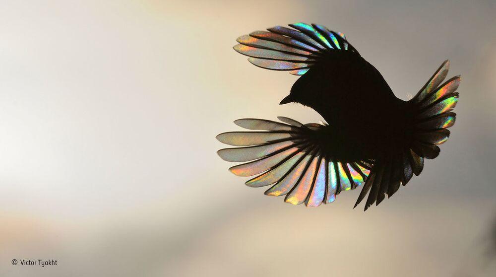 Tęczowe skrzydła. Autor: Wiktor Tiacht, Rosja.