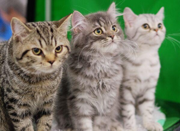 Koty rasy brytyjski krótkowłosy według legendy są potomkami Kota-Dziwaka z Cheshire. - Sputnik Polska