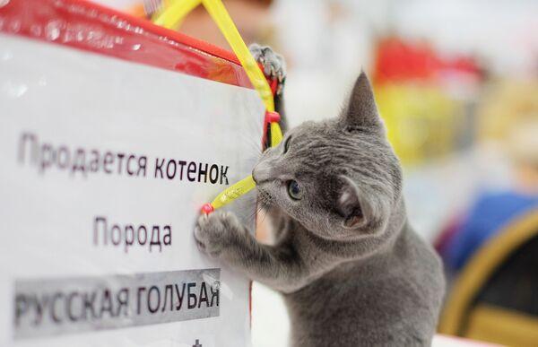 Rosyjski błękitny to jedna z najpopularniejszych ras kotów krótkowłosych. - Sputnik Polska